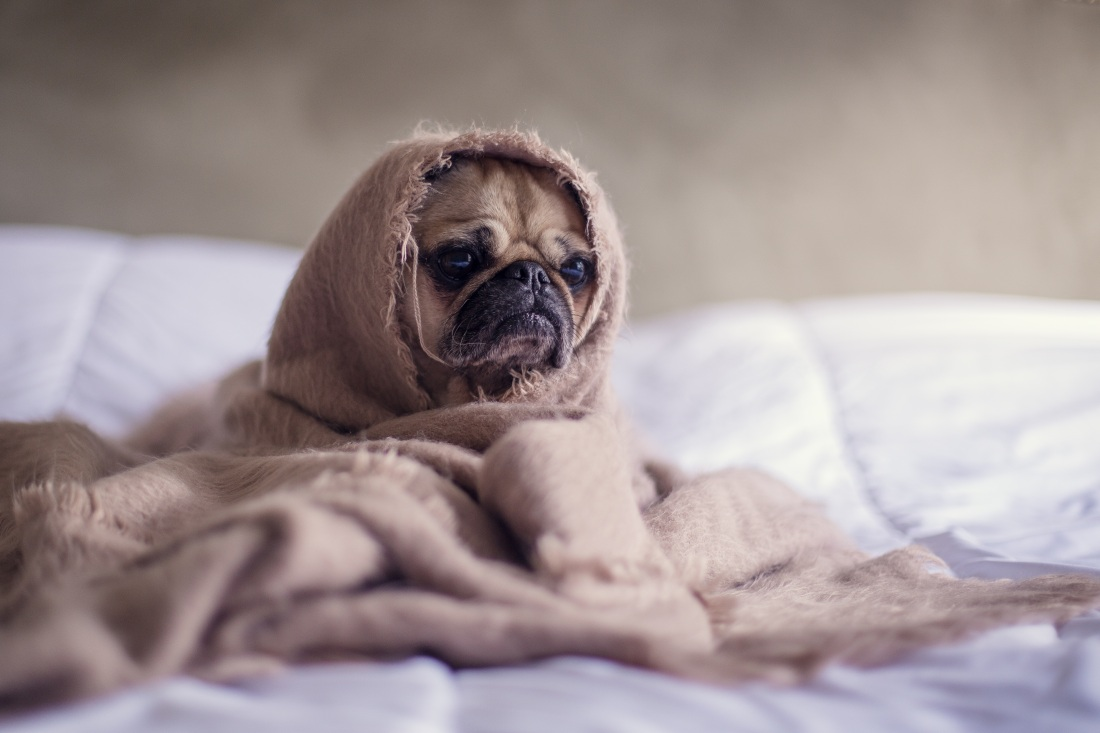 tired-looking pug wrapped in blanket